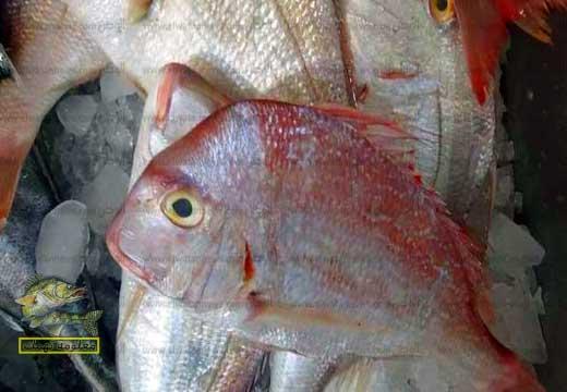 سمك المرجان ابو أتب