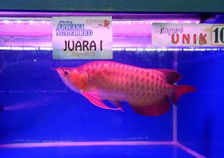 Ikan Arwana Unik