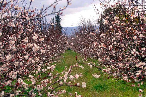 Ενισχύσεις στους Λαρισαίους αμυγδαλοπαραγωγούς για τις ζημιές στις καλλιέργειες