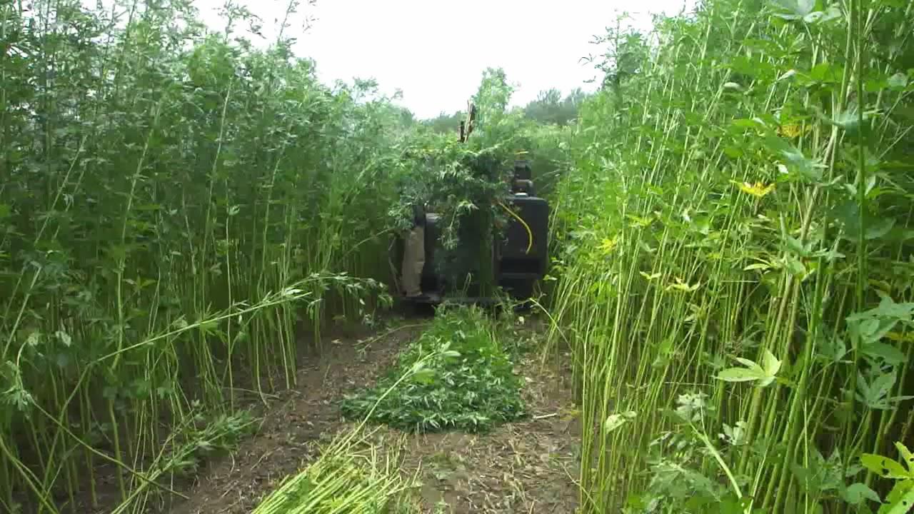 Thu hoạch cây đay