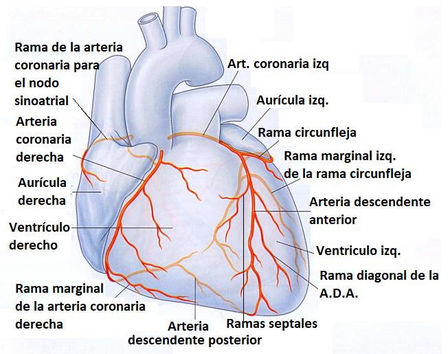 Estudios cardíacos