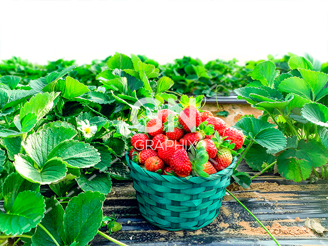 Strawberries in a green basket stock image
