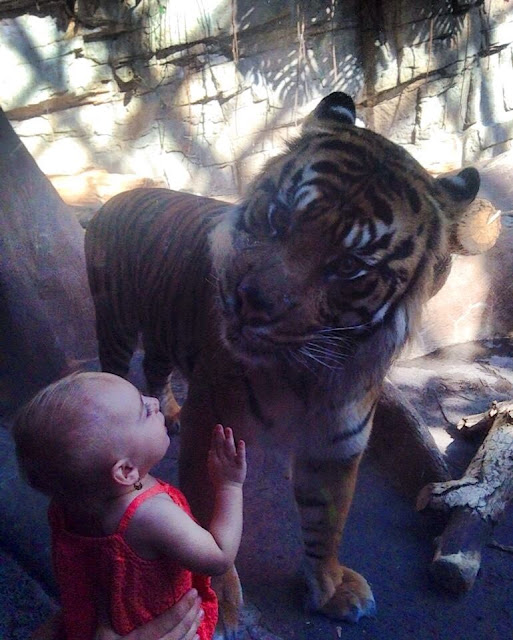 Baby looking at a tiger