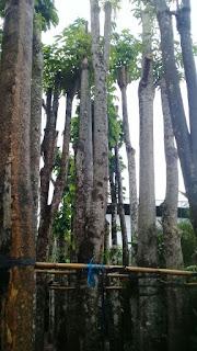 harga jual pohon pule batang putih