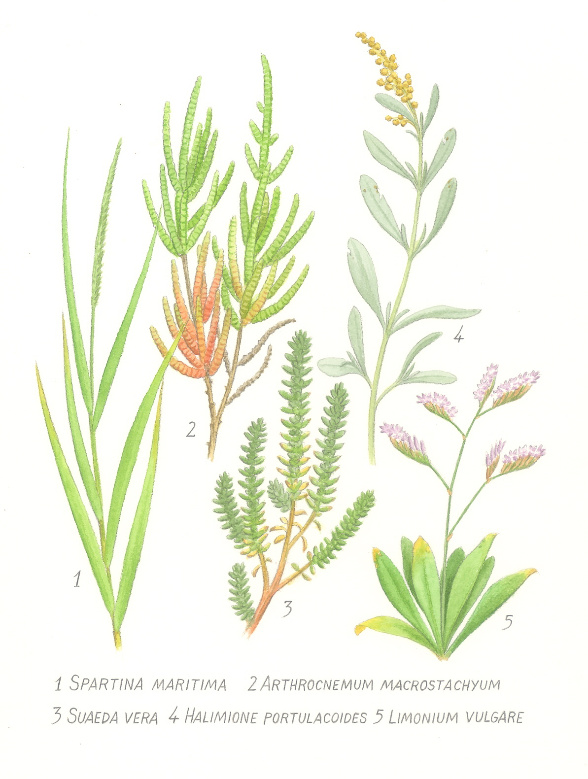 The gallery for --> Cattails Drawing