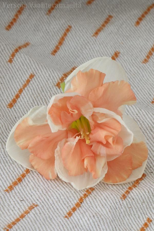 narsissi, Narcissus ´Apricot Swirl` スイセン