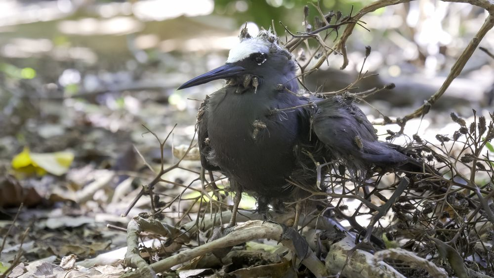 A white capped noddy tangled in Pisonia seeds at Heron Island, Queensland, Australia.