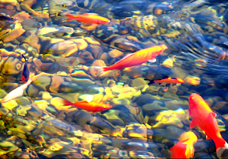 Daftar Ikan Hias Air Tawar Terindah