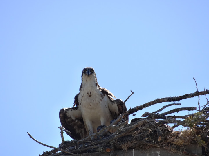 Do Osprey Chicks Have Croups To Store Food