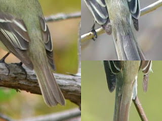 Primary projection for several different Empidonax flycatchers