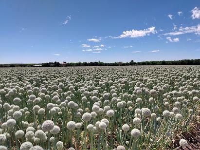 Large onion field in Las Cruces, Mesilla