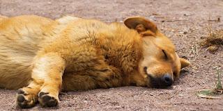 Ciri-ciri anjing terkena rabies