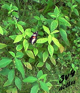 Black Butterfly. Kehijauan Rerumputan dan Dedaunan - Greeny Grasses