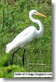 Great Egret (Egretta alba) wading birds