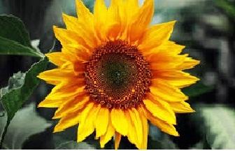 Bunga matahari bermanfaat untuk kesehatan dan pengobatan diantaranya berfungsi sebagai ant 16 Manfaat Bunga Matahari Untuk Kesehatan dan Pengobatan Lengkap dengan Ramuannya