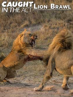 Caught in the Act: Lion Brawl (2012)