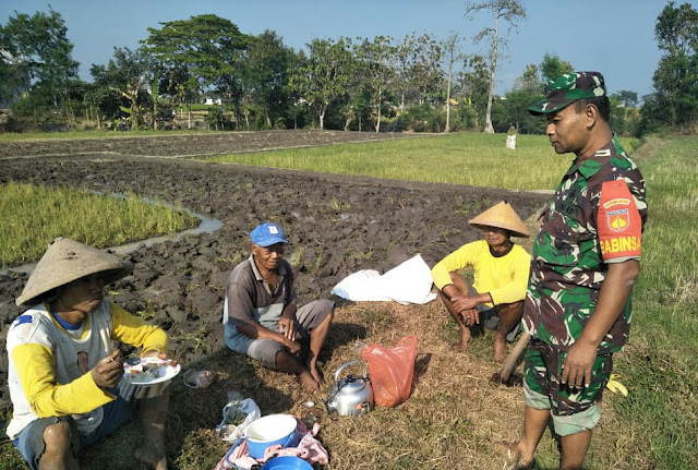 Kompaknya Babinsa PPL Dan Petani Modal Utama Meningkatkan Hasil Pertanian