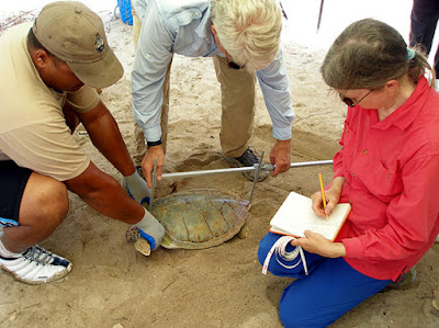Marine scientist gathering data from turtle on beach.
