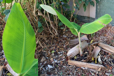 Edible banana sprouting