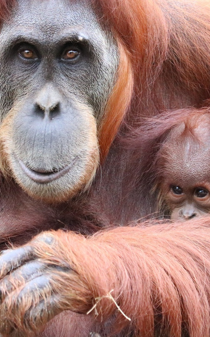Orangutan mother and child.