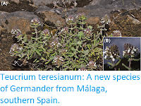 https://sciencythoughts.blogspot.com/2017/11/teucrium-teresianum-new-species-of.html