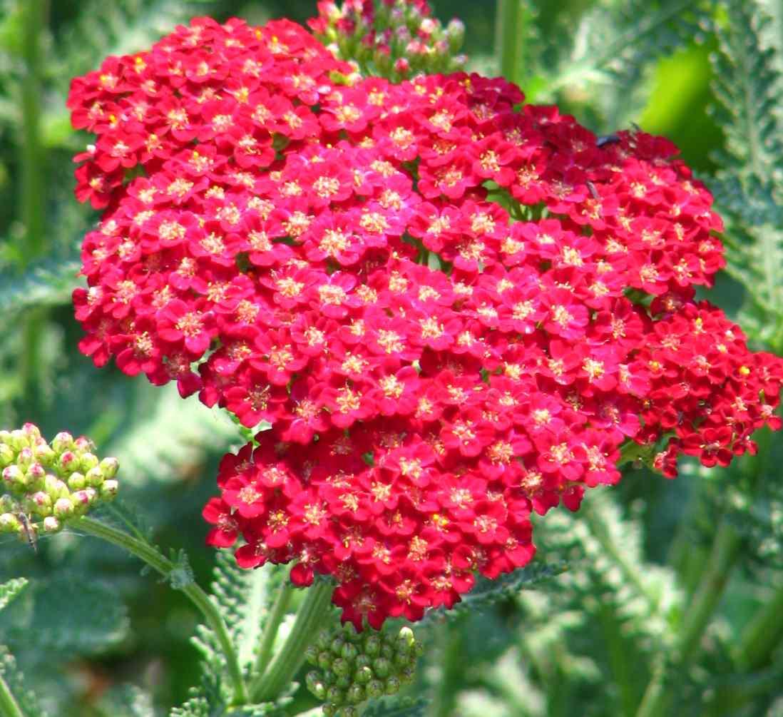 yarrow flower - photo #47