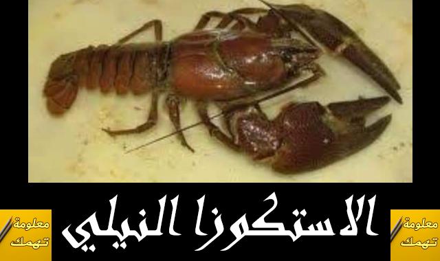 الصيد بالاستكوزا النيلى