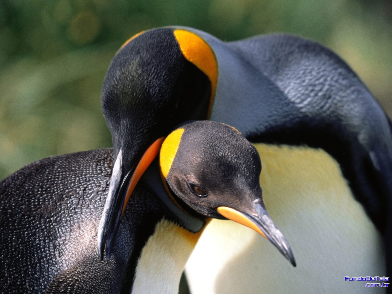 Penguins are certainly not shy about expressing their love. Like humans in successful relationships, they find that hanging out with their partner is the greatest joy of life.