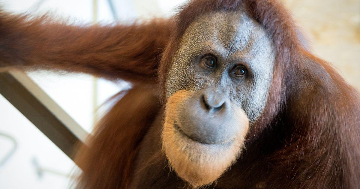 Θέλω μια φωτογραφία... - Σελίδα 20 JAN-27-Rocky-the-orangutan
