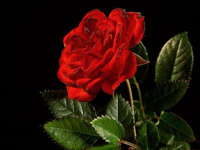 beautiful red rose wallpaper