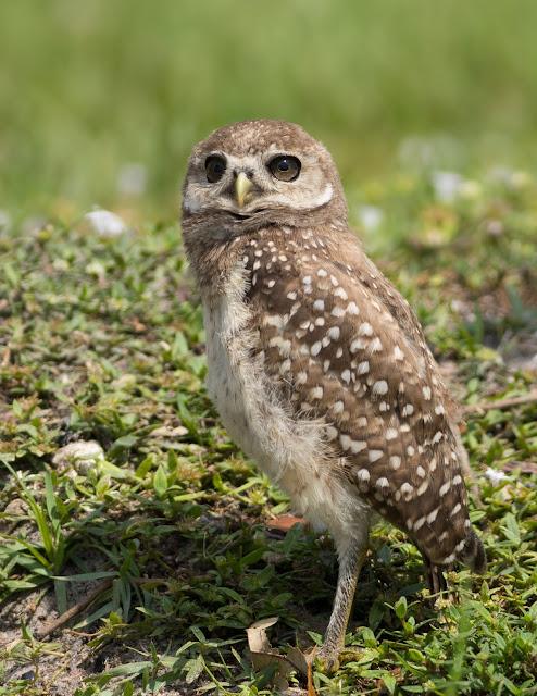 Baby Burrowing Owl - Brian Piccolo Sports Park, Florida