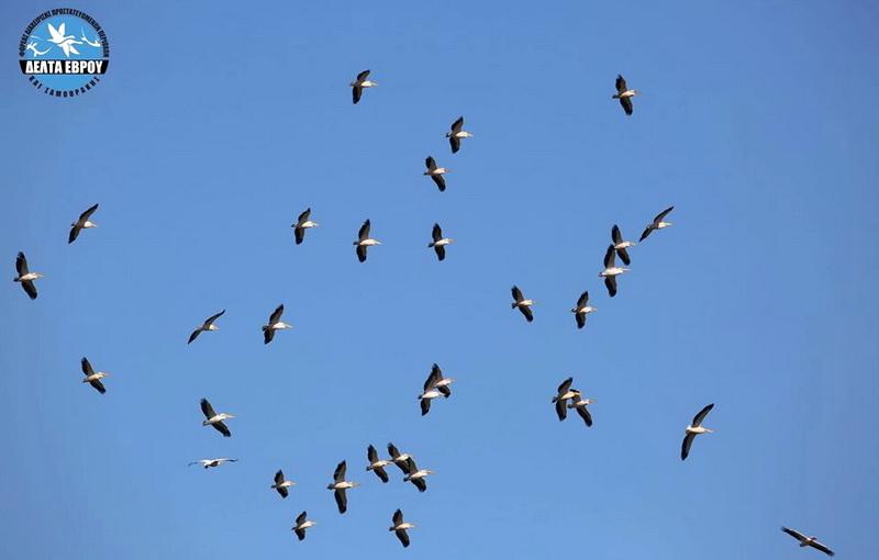 Μεγάλοι αριθμοί μεταναστευτικών πουλιών πάνω από το Δέλτα Έβρου
