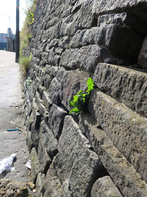 Long black wall in Halifax with plants growing from it - especially a dandelion.
