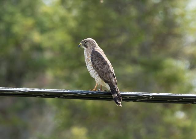 Broad-winged Hawk - Mayfield, Michigan, USA