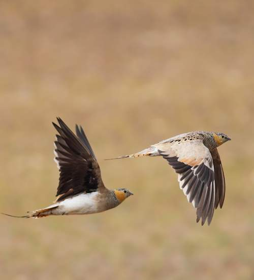 Birds of India - Image of Tibetan sandgrouse - Syrrhaptes tibetanus