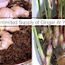 5 Easy Steps On How To Grow An Unlimited Supply Of Ginger At Your Home