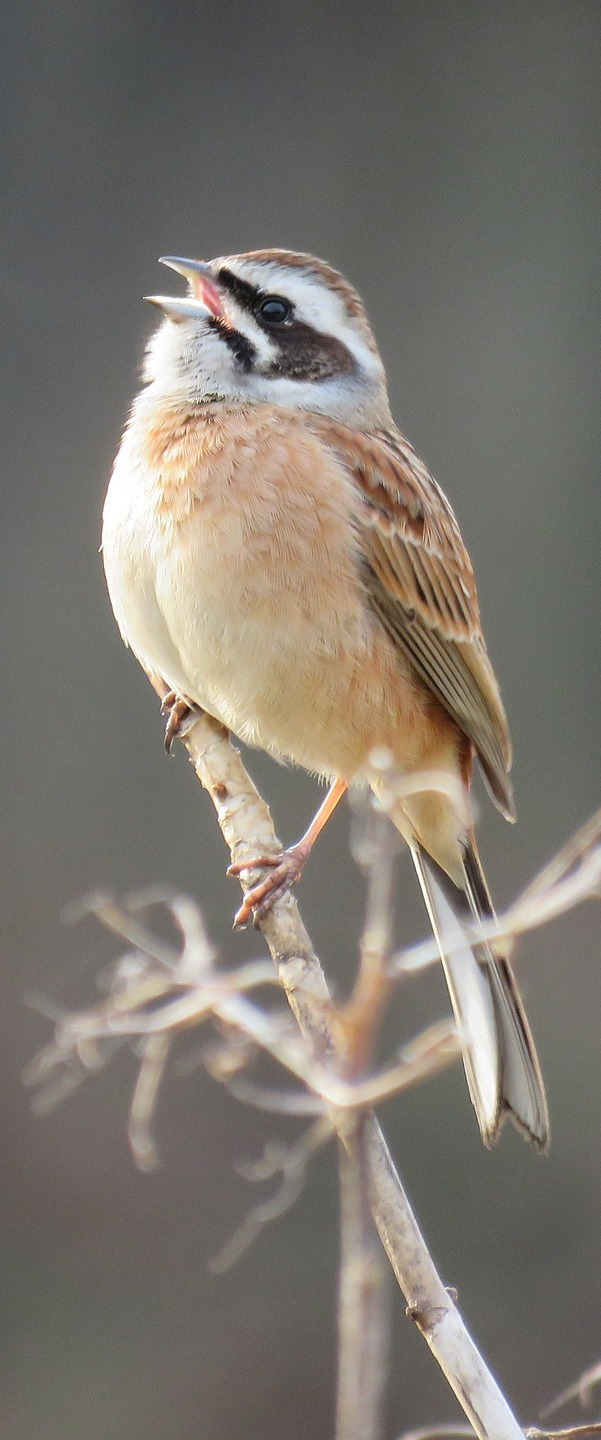 Picture of a bunting bird.
