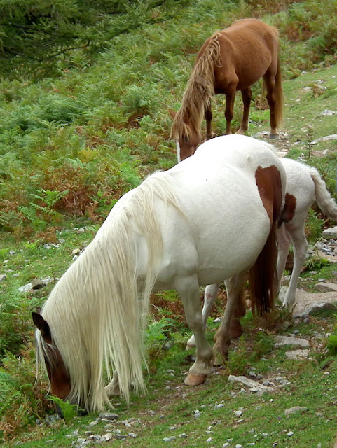 Pottokak (wild Basque ponies) on La Rhune. Pyrenees-Atlantique, France. Photographed by Susan Walter. Tour the Loire Valley with a classic car and a private guide.