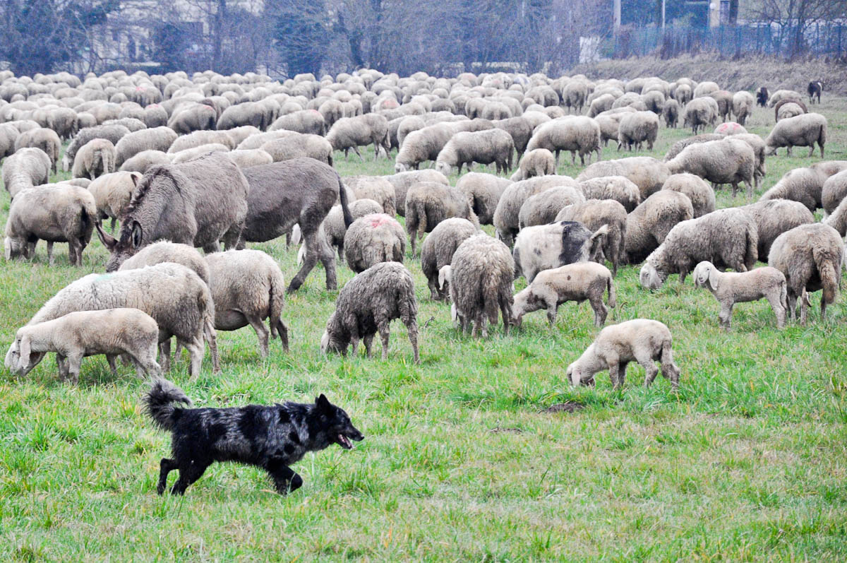 A flock of sheep with a dog, Rettorgole, Vicenza, Veneto, Italy