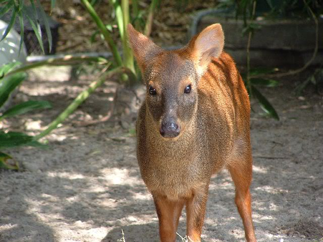 A picture of a pudu.