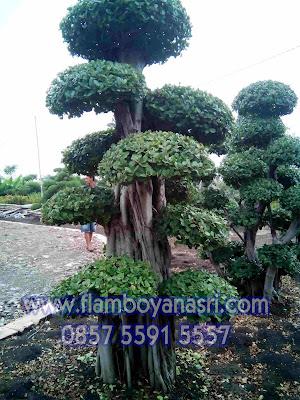 Jasa Tukang Taman Surabaya Jual Bonsai beringin korea