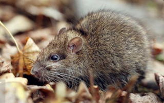 Cara Mengusir Tikus Memakai Bahan Alami