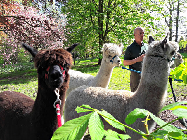Alpacas at Walton Hall Gardens, Warrington