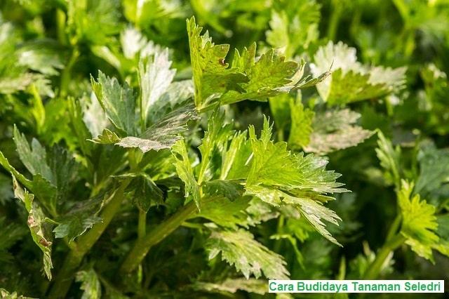 Budidaya tanaman seledri