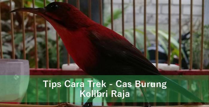 Tips Cara Trek Cas Burung Kolibri Raja