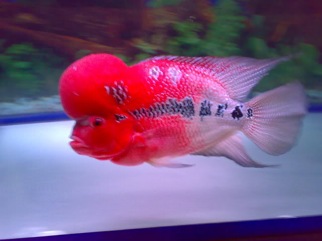 Red Dragon Kamfa Flowerhorn Cichlid