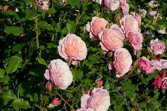 Prix P.J. Redoute сорт розы купить саженцы в Минске фото