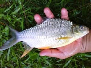 MEMERANG SUNGAI: Umpan Ikan Lampam Jawa