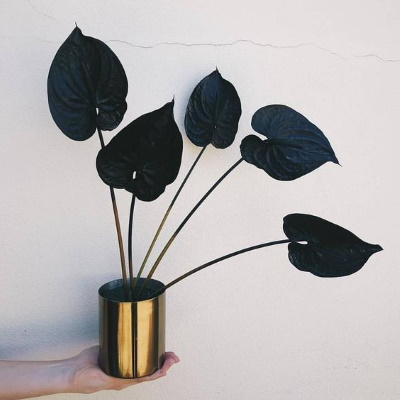 Anthurium noir black plant urban jungle