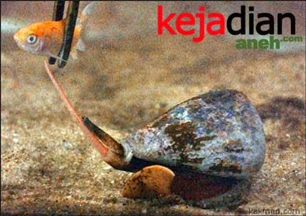 Fenomena Aneh Siput Laut Pembunuh yang Ditakuti Penyelam
